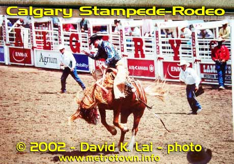 Cowboy on bucking bronko at Canada's Calgary Stampede-rodeo, a David Lai photo